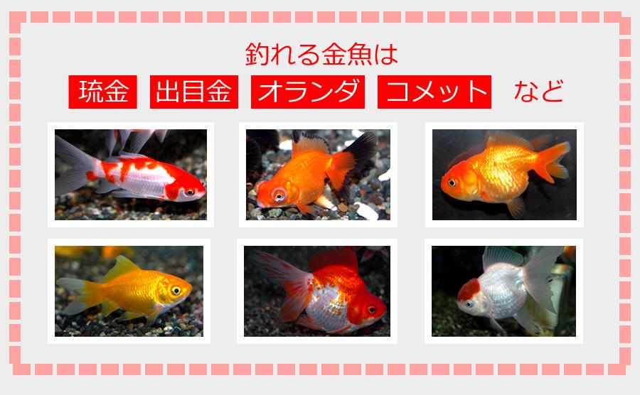 釣れる金魚は 琉金 出目金 オランダ コメット など