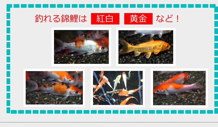 釣れる錦鯉は紅白、黄金など